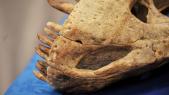 Ossement dinosaure