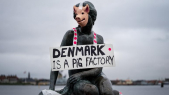 Denmark is a pig factory