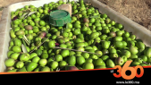 Cover Vidéo . فلاحو تاوريرت يدشنون موسم جني الزيتون وسط تفاؤل بحجم الانتاج