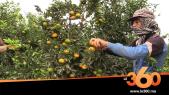 Cover_Vidéo: انطلاق موسم جني البرتقال ببركان