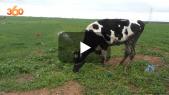 Cover_Vidéo: انتعاش الفلاحة مع التساقطات المطرية الأخيرة