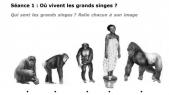Où vivent les grands singes?