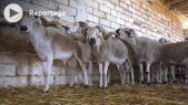 Cover Vidéo -  هذه أصول وخصائص سلالة أكباش الصردي بالمغرب