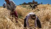 Fête de la Moisson - Marrakech - Champ de blé - Moissons -